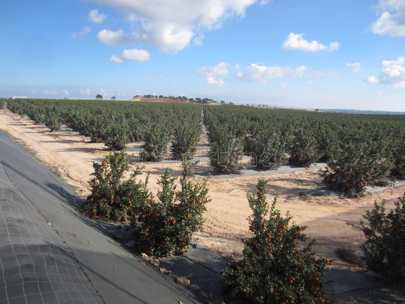 Orange Orchard Grove. Orange Orchard or Grove in Murcia and Alicante area of Spain stock image