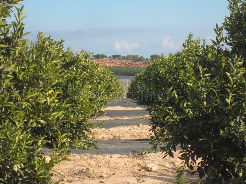 Orange Orchard Grove. Orange Orchard or Grove in Murcia and Alicante area of Spain stock photos