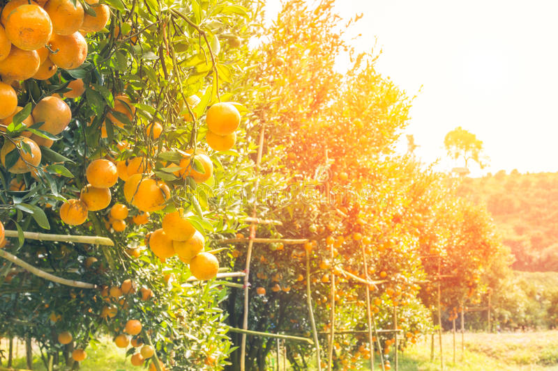Orange orchard in morning. Orange orchard in northern Thailand in morning stock photos