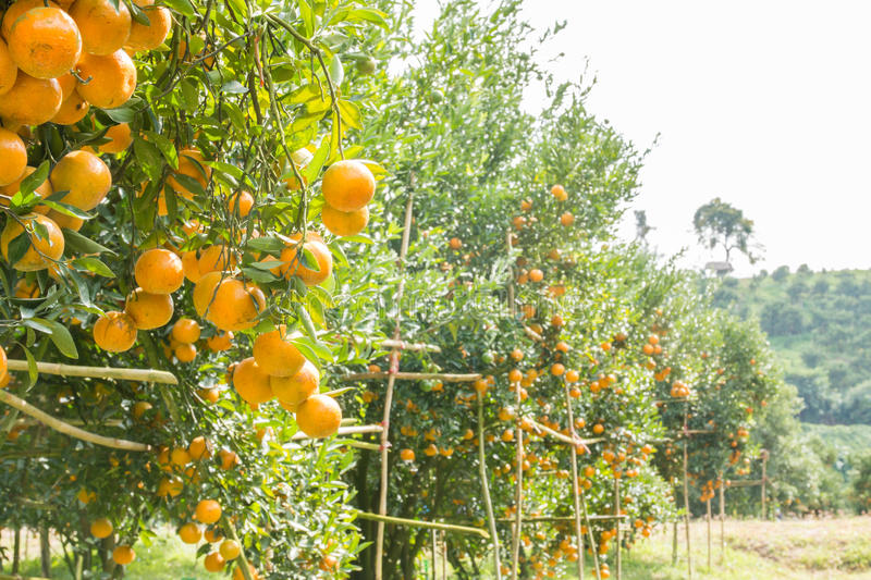Orange orchard. In northern Thailand royalty free stock images