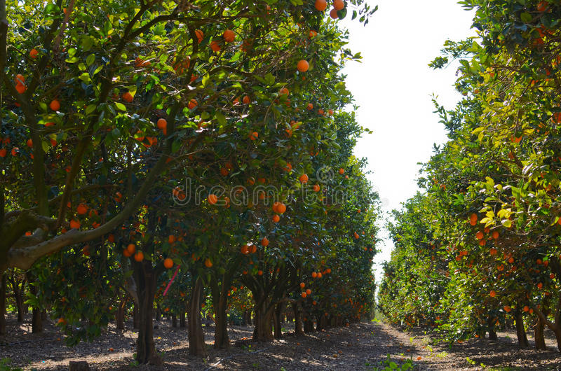 Orange orchard. Picture from inside an orange orchard royalty free stock images
