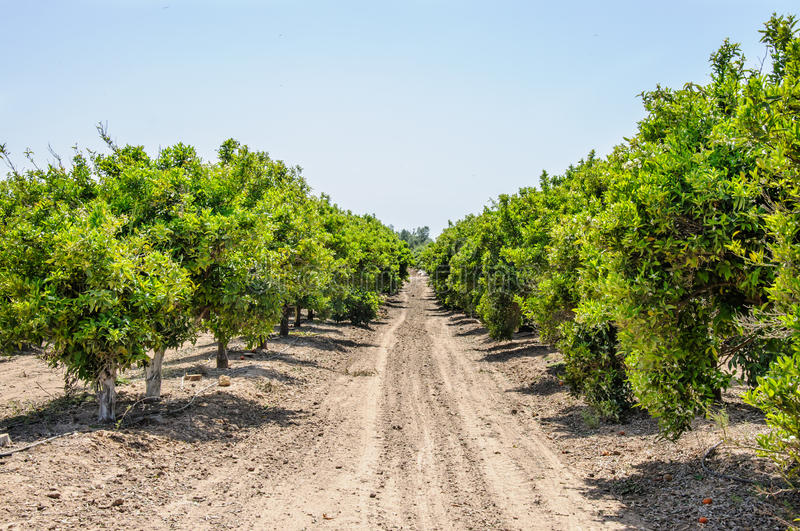 Orange orchard. Sunlight, spring time royalty free stock photos