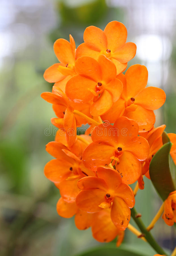 Download Orange Orchid stock image. Image of macro, branch, natural - 32233725