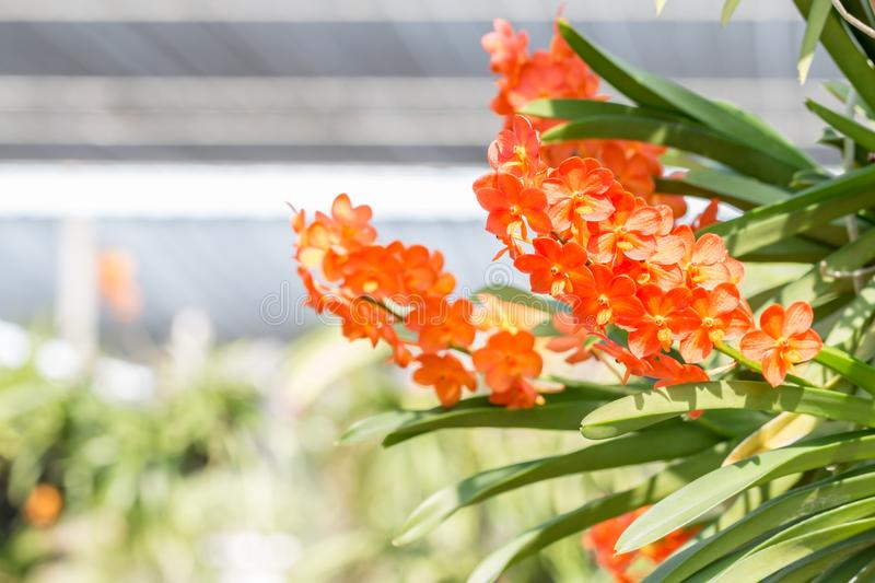 Orange orchids, Ascocenda in orchid house. stock photography