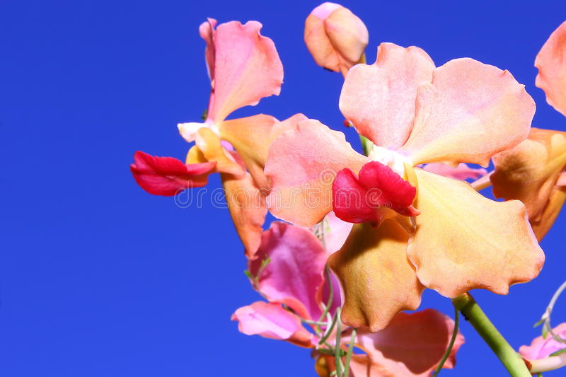 Orange orchids with blue sky background. royalty free stock photo
