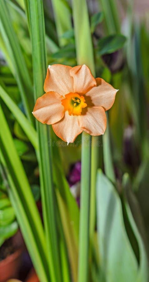 Orange orkidér med blåa pistillar stänger sig upp filialblommor royaltyfria bilder