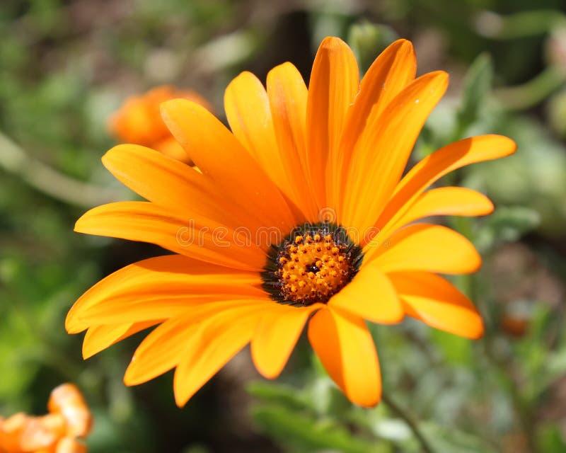 orange osteospermum royaltyfri foto