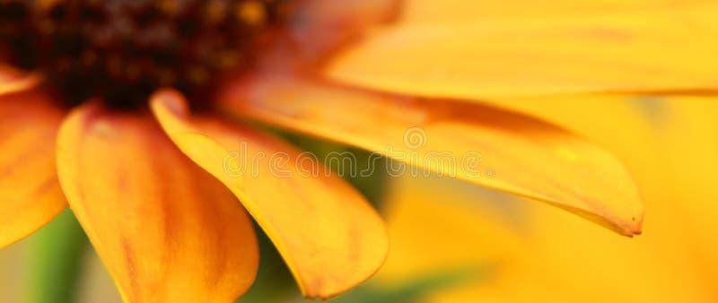 Orange Osteospermum med vattensmå droppar royaltyfria bilder