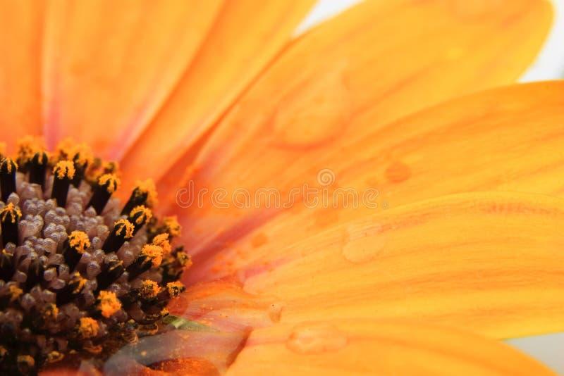 Orange Osteospermum med vattensmå droppar arkivfoton