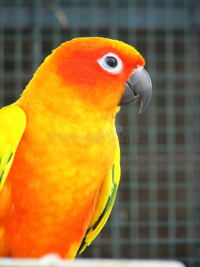 orange papegoja 2 arkivfoto