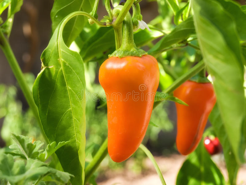 orange paprika arkivbild
