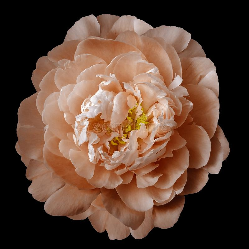 Orange peony flower with yellow stamens on an isolated black background with clipping path. Closeup no shadows. For design. Nature stock image
