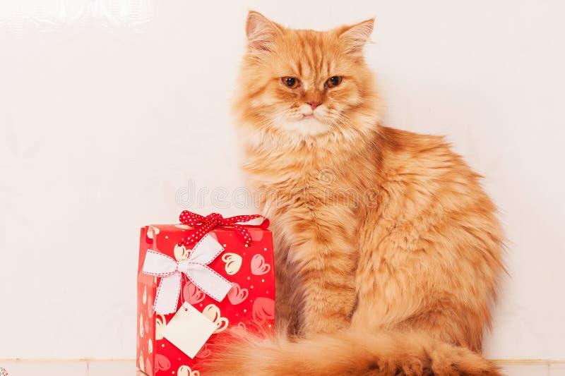 orange persisk katt med den röda gåvaasken royaltyfri fotografi