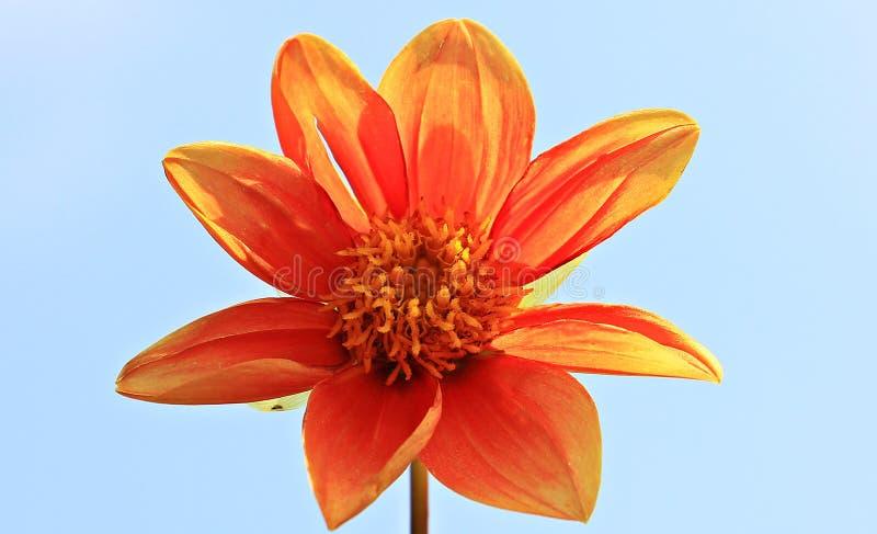 Orange Petal Flower royalty free stock photos