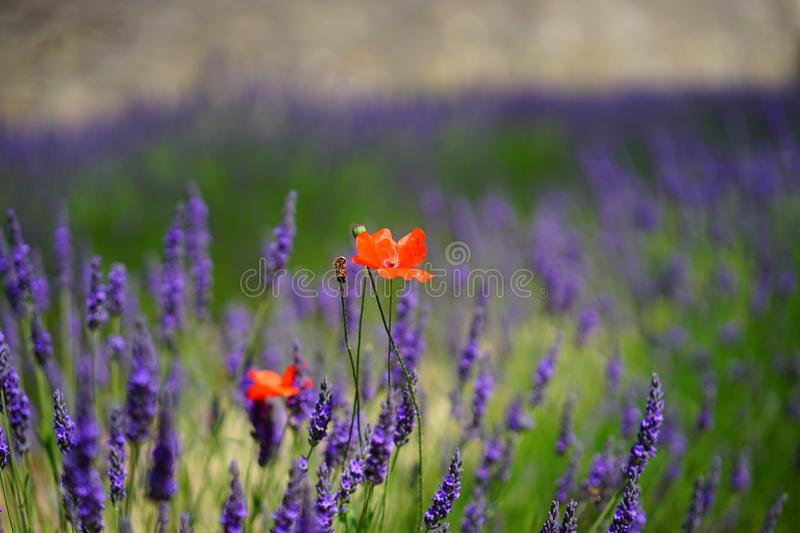 Orange Petal Flowers With Purple Grass during Daytime royalty free stock photo