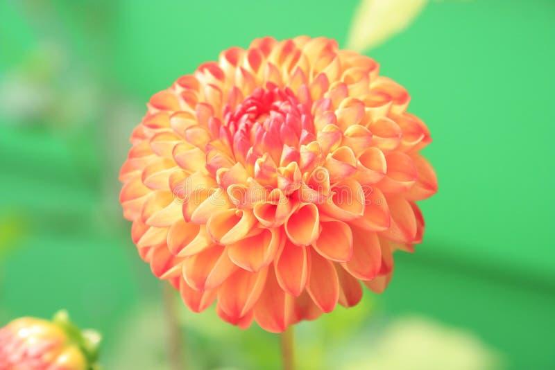 Orange Petaled Flower Close-up Photo stock photos