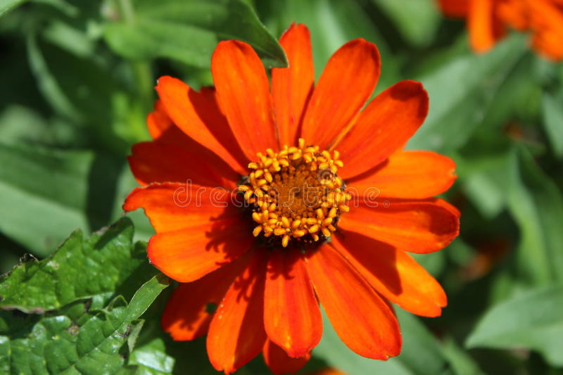 Orange Petaled flower. An orange flower with yellow center sits against green foliage royalty free stock photo
