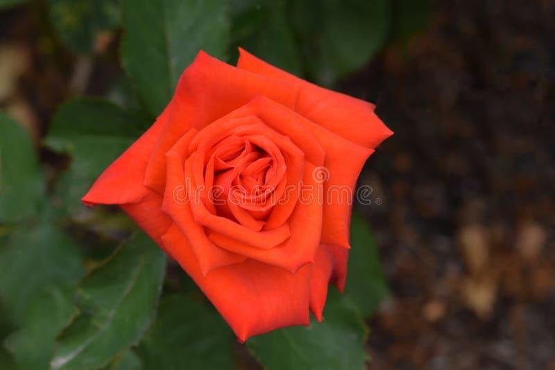 Prominent Orange Rose Flower Closeup stock photography