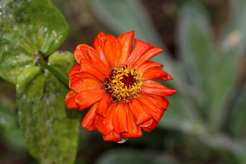 Orange petals of beautiful Zinnia flower with yellow center starting to shrivel and wither sprinkled with light rain on cloudy. Gloomy day in local garden stock photography