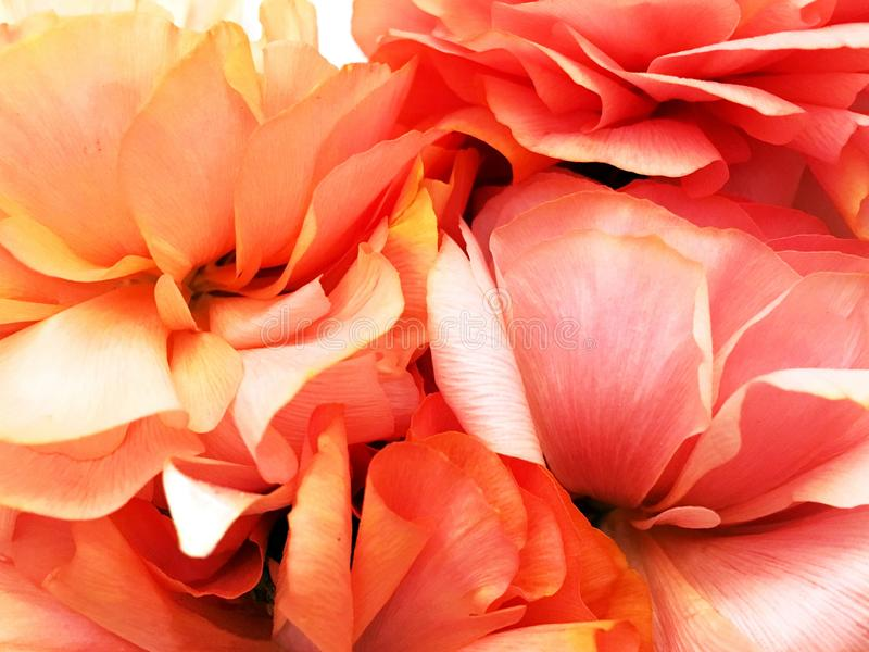 Ranunnculus, Buttercup. Orange petals ranunculus flowers background. Flowers on white paper background. Spring, summer flowers. Ranunculus, flower, orange stock photos