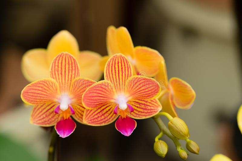 Orange Phalaenopsis orchids flower in a tropical garden. Floral background. royalty free stock images