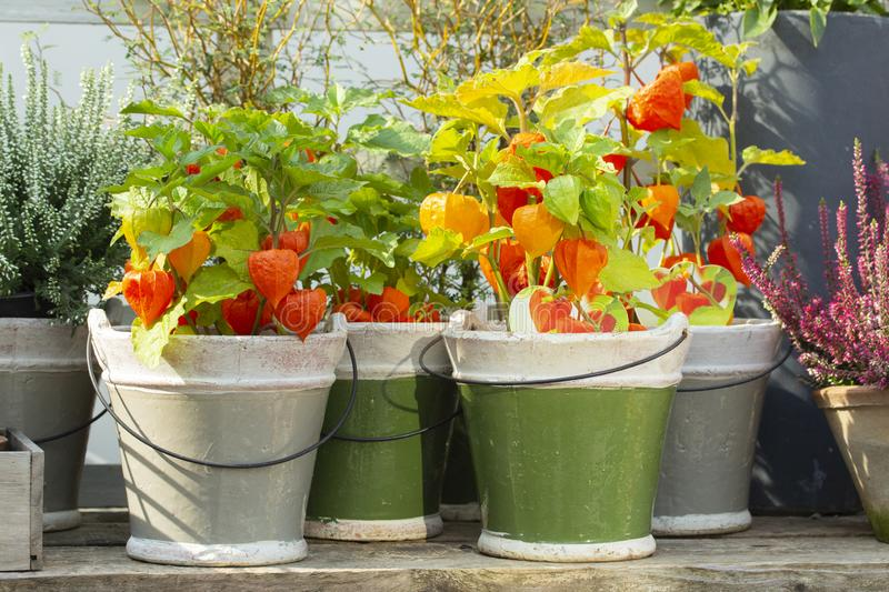Orange Physalis with green leaves in ceramic pots. Beautiful bright farm plants Physalis red pepper, Mexican tomato. Tomatillo. Vegetables in pots, harvesting royalty free stock images