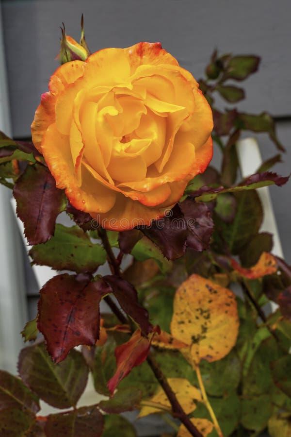 Orange Pinata wspinająca się róża kwitnąca makro Waszyngton zdjęcia royalty free