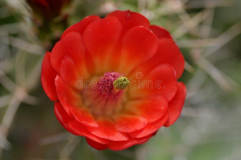 Orange with Pink Cactus Flower stock image