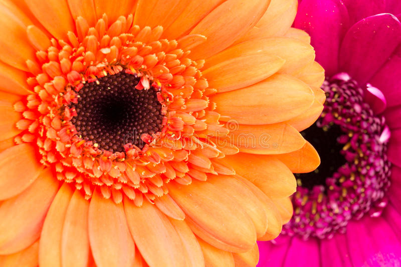 Orange and pink Gerbera flowers close up. royalty free stock photography