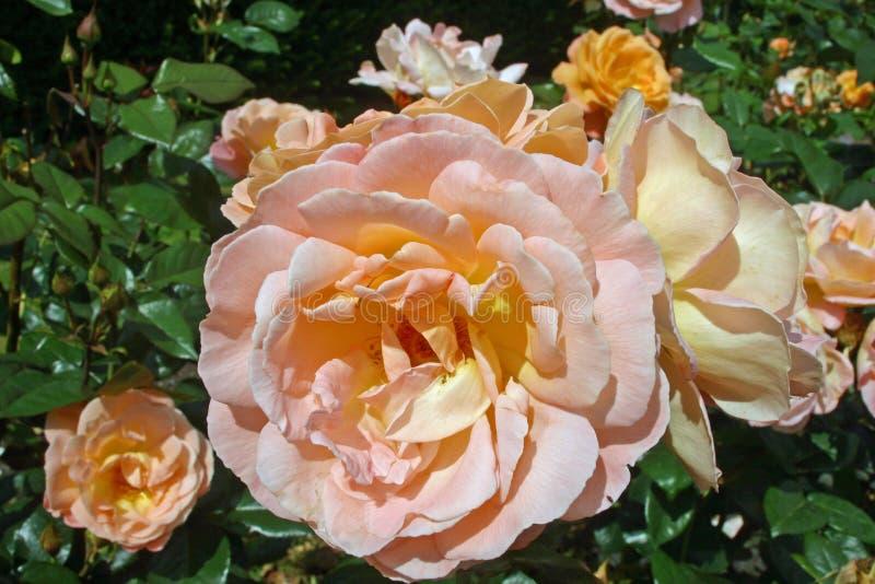 Orange and pink roses stock photo