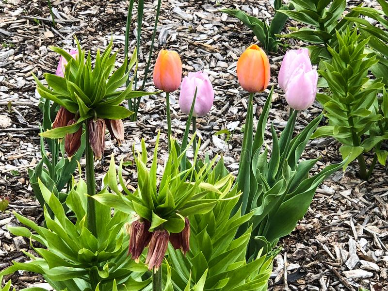 Orange and pink tulips in flower garden royalty free stock photography