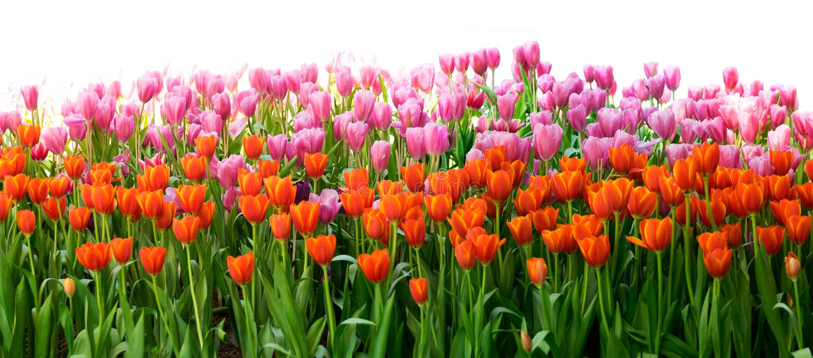 Orange and pink Tulips flower in the garden isolate on white background stock photo
