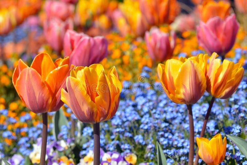 Orange, pink and yellow colored tulip in middle of field with blue spring flowers on blurry background. Orange, pink and yellow colored tulip in middle of field royalty free stock image