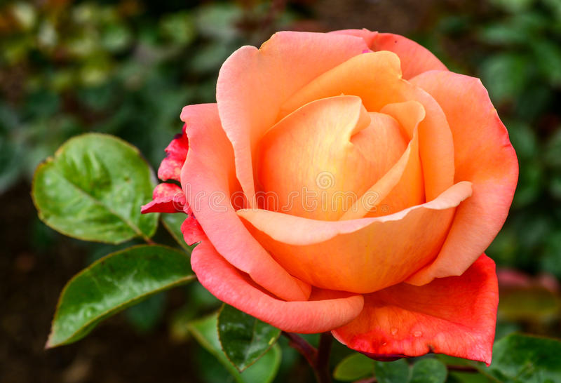 Orange pinkish rose flowers in spring stock photo image of bunch download orange pinkish rose flowers in spring stock photo image of bunch alba mightylinksfo