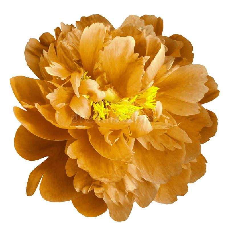 Orange pionblomma med gula stamens på en isolerad vit bakgrund med den snabba banan Closeup inga skuggor För design arkivfoto