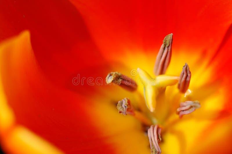 orange pistiltulpan royaltyfri foto