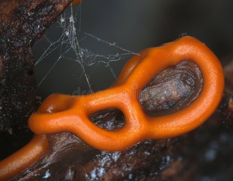 Orange plasmodiocarp Fruchtkörper eines Schlammform Hemitrichia-serpula lizenzfreie stockfotos