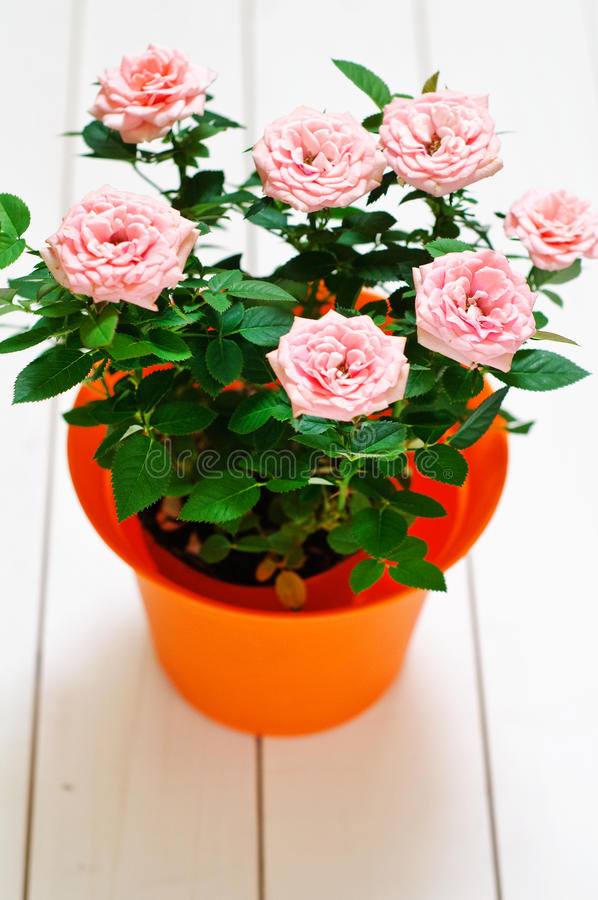 Download Orange Plastic Pot With Pink Mini Rosa Stock Photo - Image: 25059766