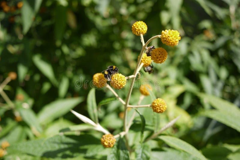 Orange pom pom Buddleja flower shrub. Orange pom pom Buddleja globose with Bumblebee bumble bee taking nector green leaf background English garden, Buddleia royalty free stock photos