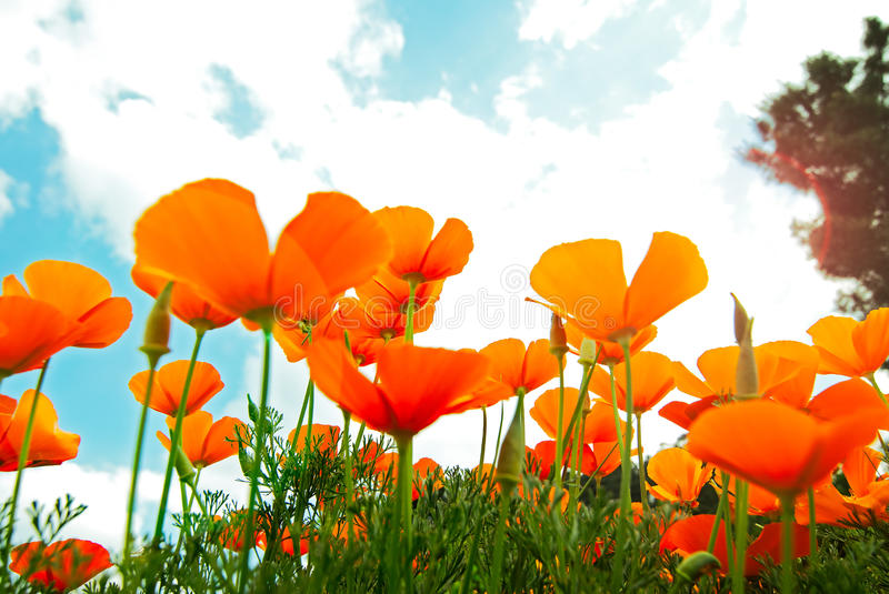 Orange Poppies Field royalty free stock images