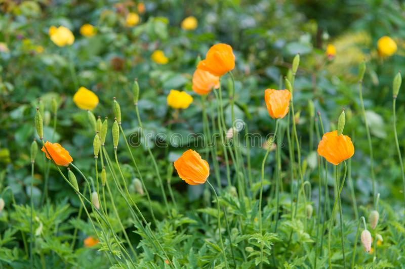 Orange poppies field. Yellow poppy with green leaves. Poppy flowers in spring or summer bloom. Flowers blossoming Flower stock photo
