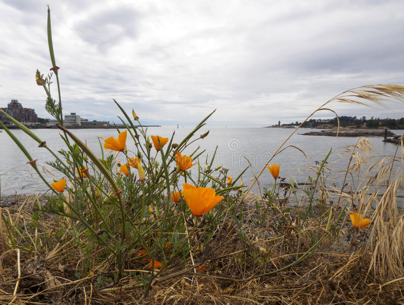 Orange poppies by the ocean stock image image of grass flowers download orange poppies by the ocean stock image image of grass flowers 96591169 mightylinksfo