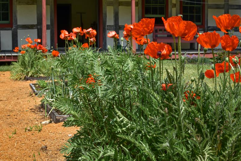 Orange Poppies - Square Foot Garden. Beautiful orange poppies blooming in the Square Foot Garden in front of the German home at Old World Wisconsin in Eagle, WI royalty free stock images