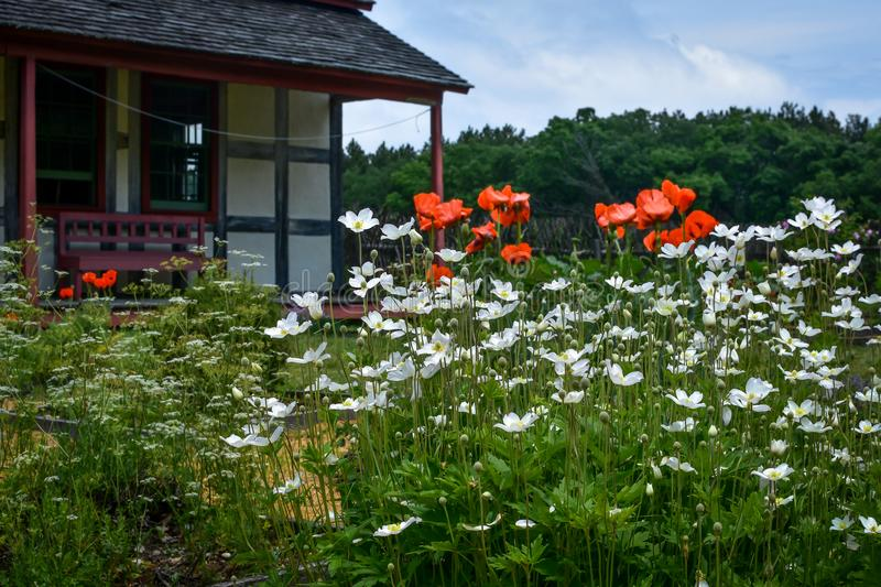 Orange Poppies and White Daisies by House royalty free stock photos