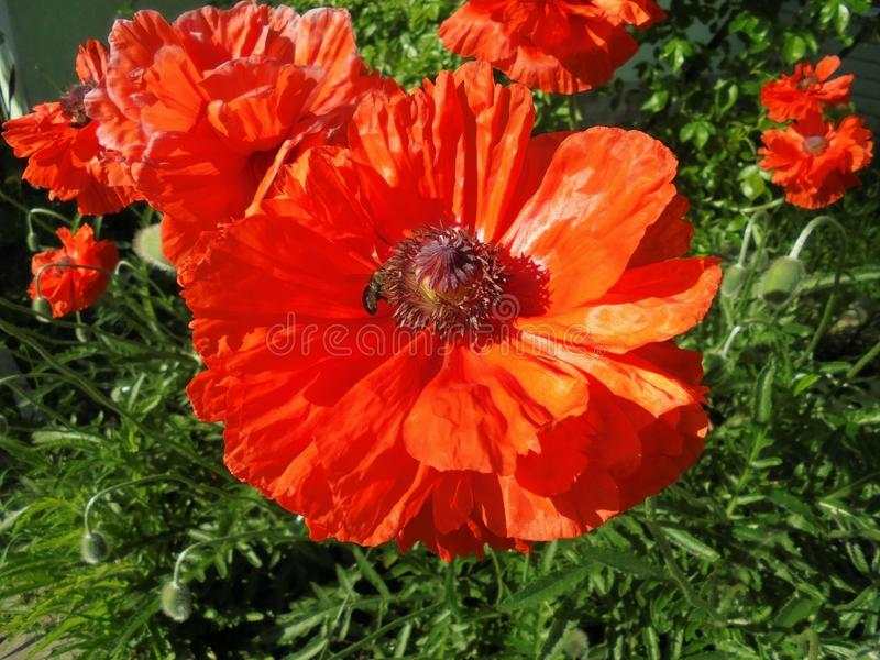 Orange poppy flowers blooming in the garden in summer stock photography