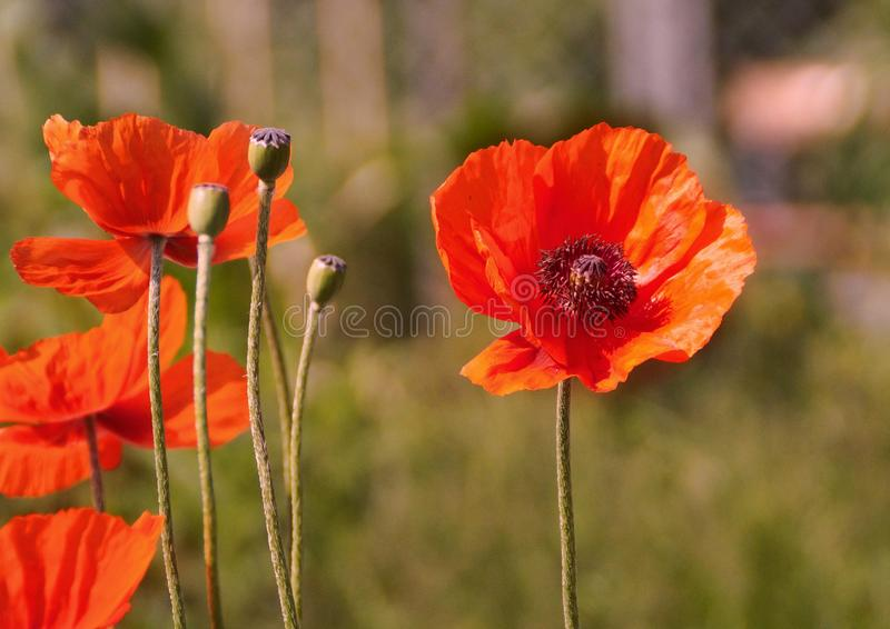 Orange poppy flowers stock images