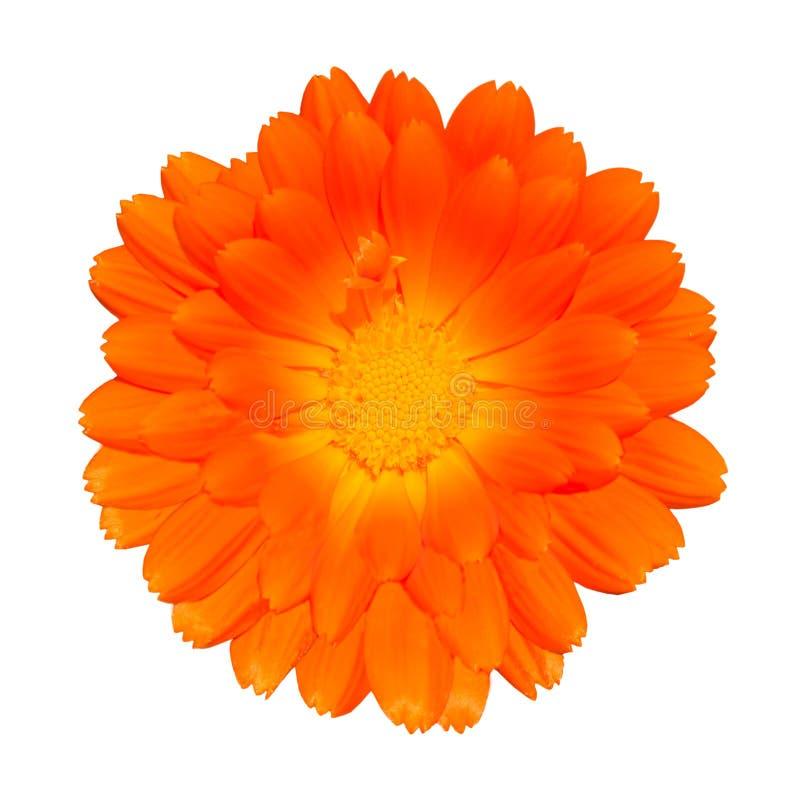 Orange Pot Marigold - Calendula officinalis. Orange Pot Marigold - Beautiful Calendula officinalis Isolated on White Background. Top view stock image