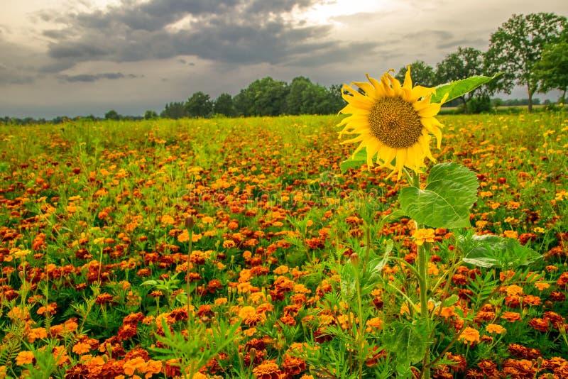 Orange pot marigold (Calendula officinalis) field. In summer royalty free stock photography