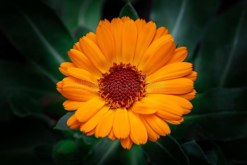 Orange Pot marigold or English marigold Calendula officinalis flower on leaf background. Beauty in nature. Orange Pot marigold or English marigold Calendula stock image