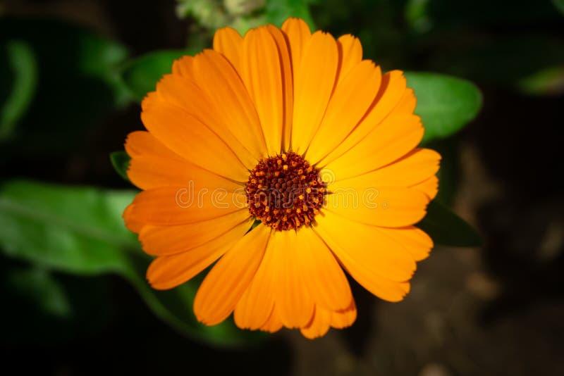 Orange Pot marigold or English marigold Calendula officinalis flower on leaf background. Soft colors.  royalty free stock images